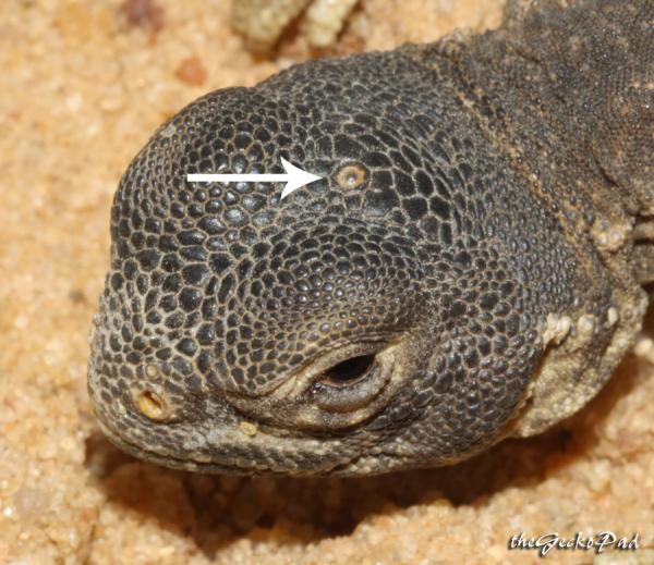 parietal eye